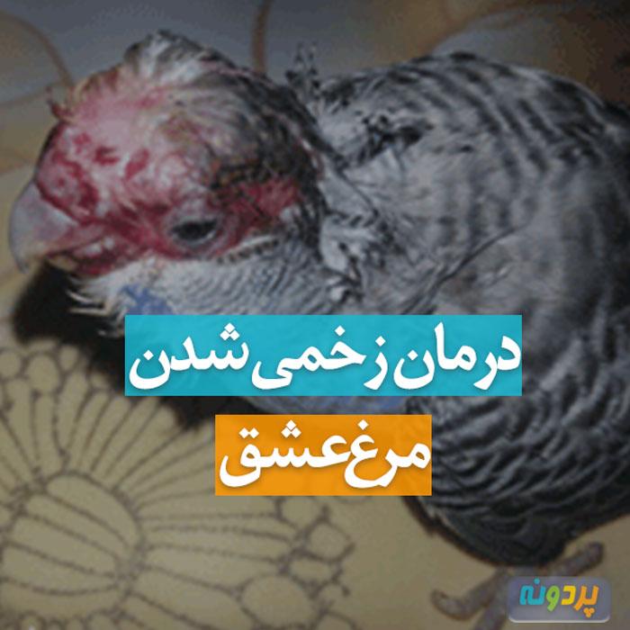 زخمی شدن مرغ عشق و درمان آن