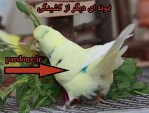عکس مرغ عشق تخم گذار
