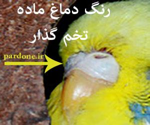 عکس مرغ عشق ماده تخم گذار