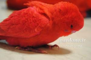 عکس مرغ عشق قرمز