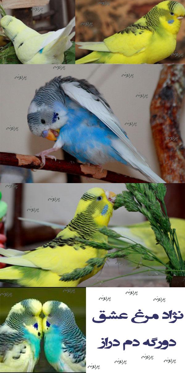 نژاد مرغ عشق دورگه دم دراز