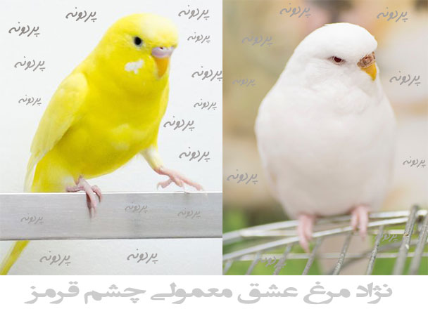نژاد مرغ عشق معولی چشم قرمز