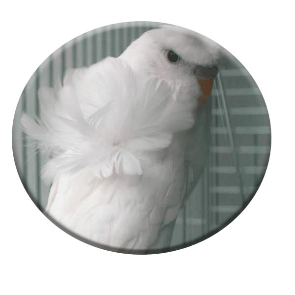 نژاد مرغ عشق پروانه ای چشم قرمز