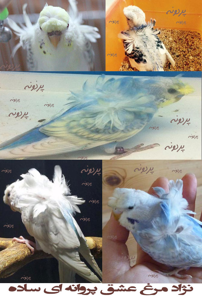 نژاد مرغ عشق پروانه ای ساده
