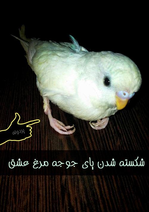 شکسته شدن پاهای جوجه مرغ عشق