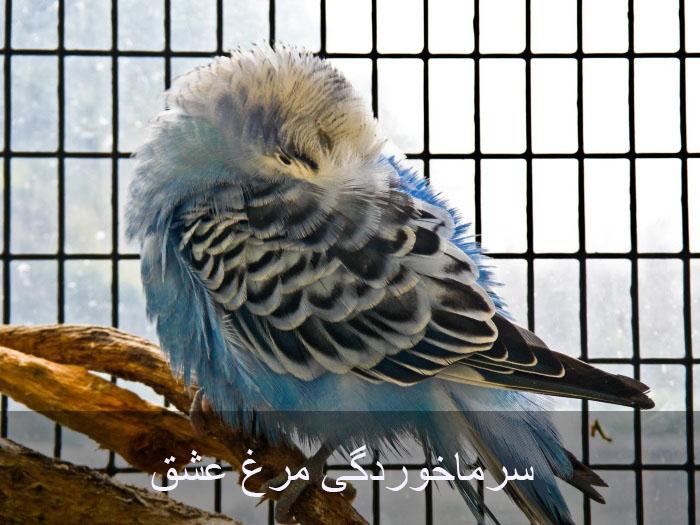 بیماری سرماخوردگی در مرغ عشق و درمان آن