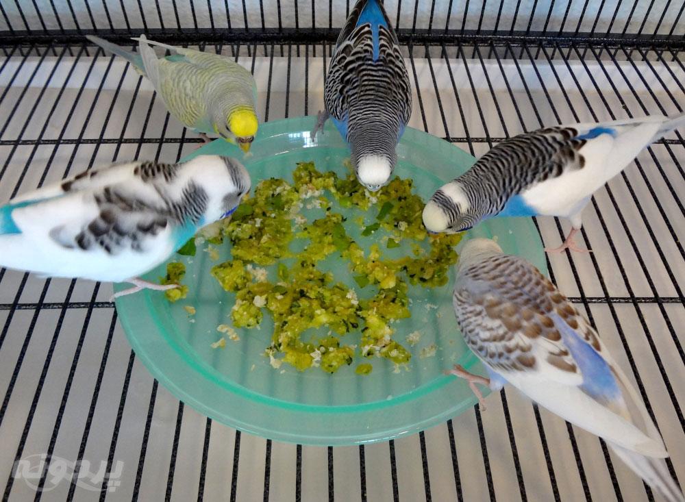 منابع کلسیم برای پرندگان زینتی ، پرندگان خود را از این غذاها محروم نکنید!