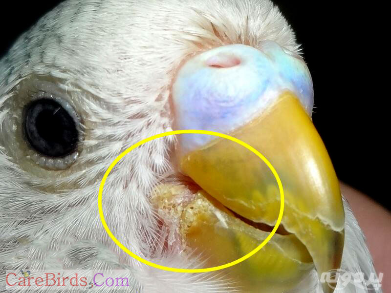 بیماری عفونت قارچی در مرغ عشق و بررسی و درمان متفاوت آن برای همیشه