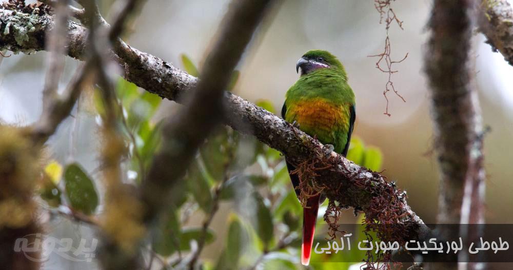 معرفی طوطی لوریکیت و نژاد های مختلف آن با تصاویر طوطی لوریکیت عکس پردونه
