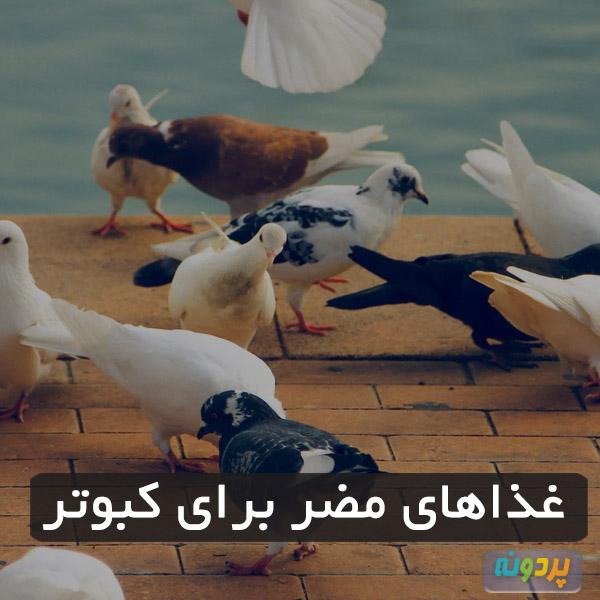 غذاهای مضر برای کبوتر