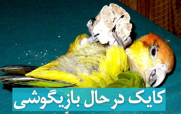 عکس طوطی کایک در حال بازیگوشی و بازی و شیطنت بامزه در پردونه