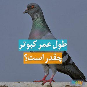 سن کبوتر چقدر است؟ طول عمر کفتر ، عمر کبوتر ، سن و سال کبوتر ، پیرترین کبوتر ، کفتر چقدر زنده می ماند ، کبوتر چند سال عمر می کند ؟ عمر کفتر ..