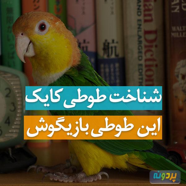 شناخت طوطی کایک و مشخصات و عکس طوطی کایک به اضافه نژاد ها و گونه های طوطی کایک Caique بازیگوش در ایران و سایت پردونه